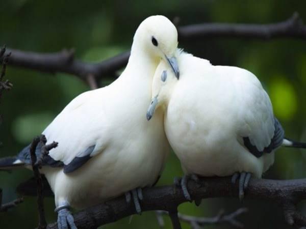 Mơ thấy chim bồ câu có điềm báo gì? đánh số nào chắc ăn?